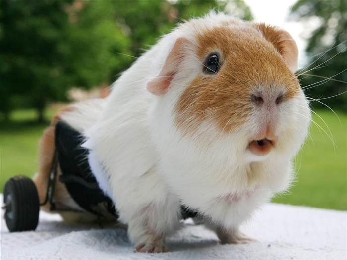 Guinea pig pic